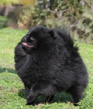 Polimar Enough I am Beautiful1,5 years- black pomeranian