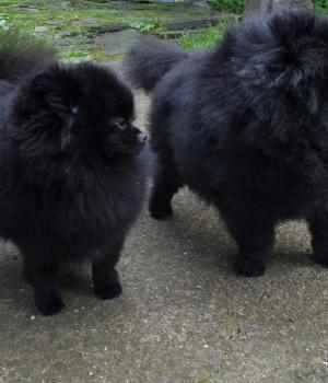 Black pomeranians-Berry and Erik