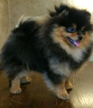 Black and tan pomeranian 5 months