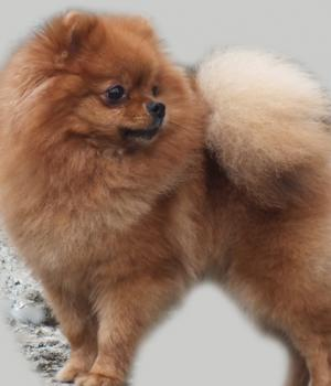 Pomeranian  Kennel  Manicheta -Daris,3 years