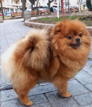 Orange pomeranian-Ruby 3 years