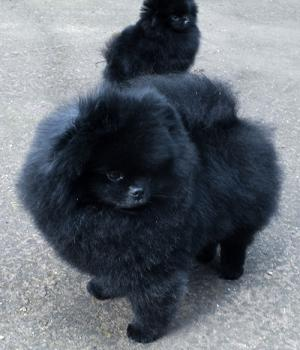 black pomeranian-Erik 4 years